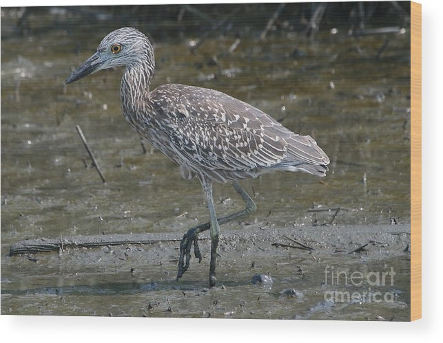 Juvenile Wood Print featuring the photograph Yellow -crowned Night Heron by Ken Keener