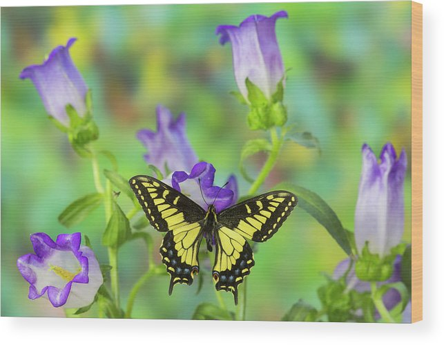 Anise Swallowtail Wood Print featuring the photograph Anise Swallowtail Butterfly, Papilio by Darrell Gulin
