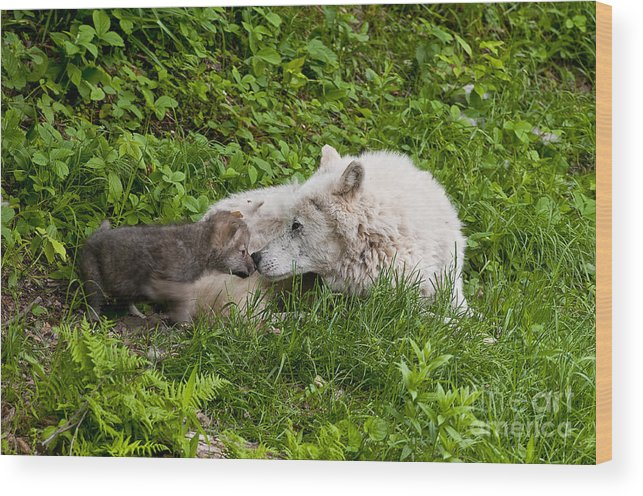 Arctic Wolf Photography Wood Print featuring the photograph Arctic Wolf Pup by Wolves Only
