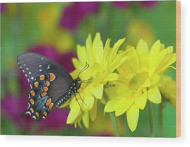 Black Wood Print featuring the photograph Spicebush Swallowtail, Papilio Troilus by Darrell Gulin