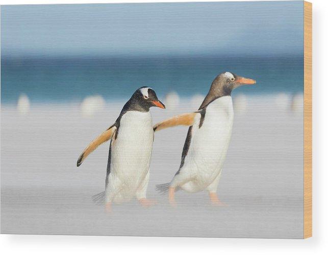 Antarctica Wood Print featuring the photograph Gentoo Penguin (pygoscelis Papua by Martin Zwick