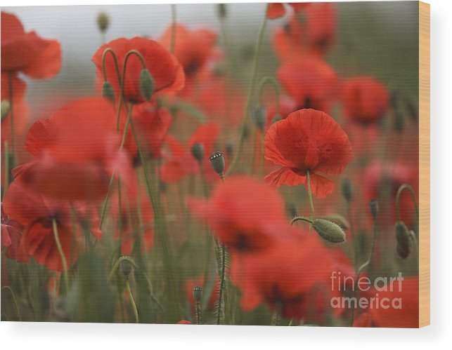 Poppy Wood Print featuring the photograph Red by Nailia Schwarz