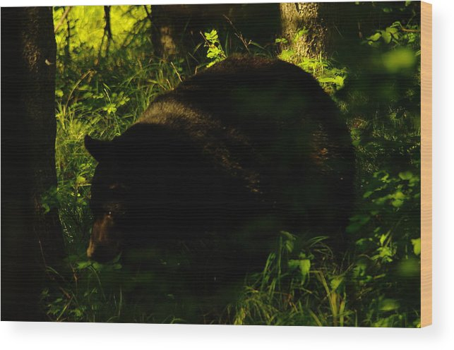Bears Wood Print featuring the photograph A Black Bear by Jeff Swan