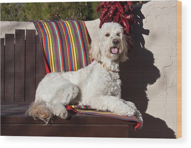 Alert Wood Print featuring the photograph A Goldendoodle Lying On A Garden Bench by Zandria Muench Beraldo
