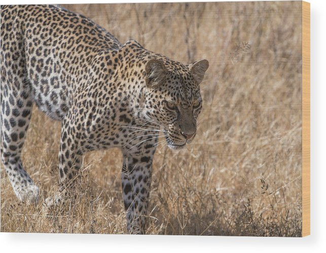 Animal Behavior Wood Print featuring the photograph A Leopard, Panthera Pardus by Tom Murphy