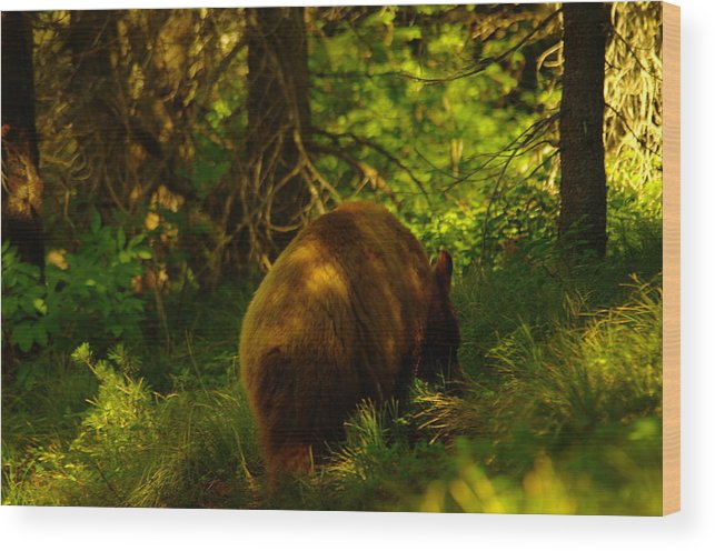 Bear Wood Print featuring the photograph A Little Brown Bear by Jeff Swan