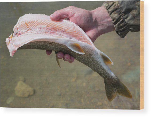 30-34 Years Wood Print featuring the photograph A Man Cleans A Lake Trout Fish by Craig Moore