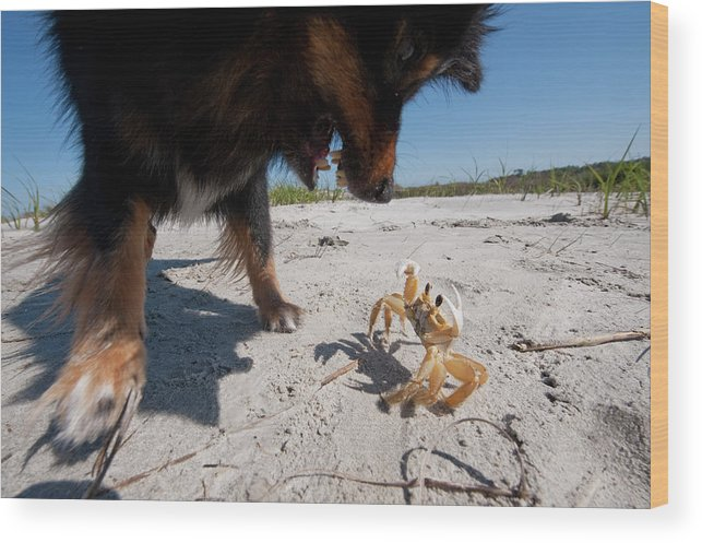 Aggression Wood Print featuring the photograph A Small Dog Fights With A Crab by Ryan Rombough