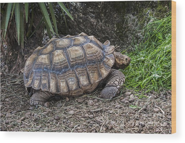 African Spurred Tortoise Wood Print featuring the photograph African Spurred Tortoise by Arterra Picture Library