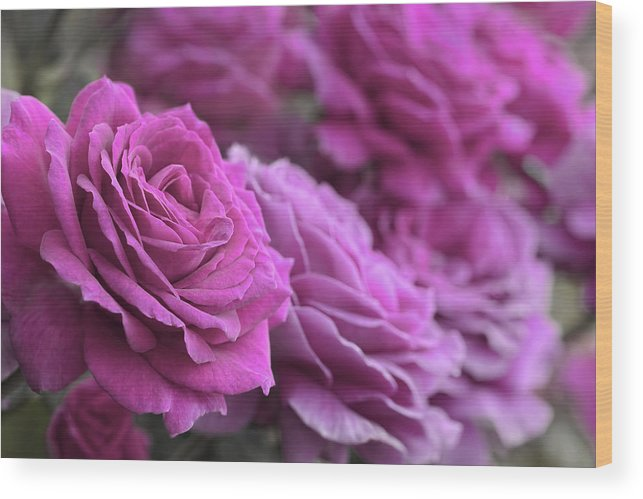 Rose Wood Print featuring the photograph All The Violet Roses by Jennie Marie Schell