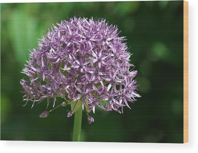 Allium Wood Print featuring the photograph Allium by Chris Day