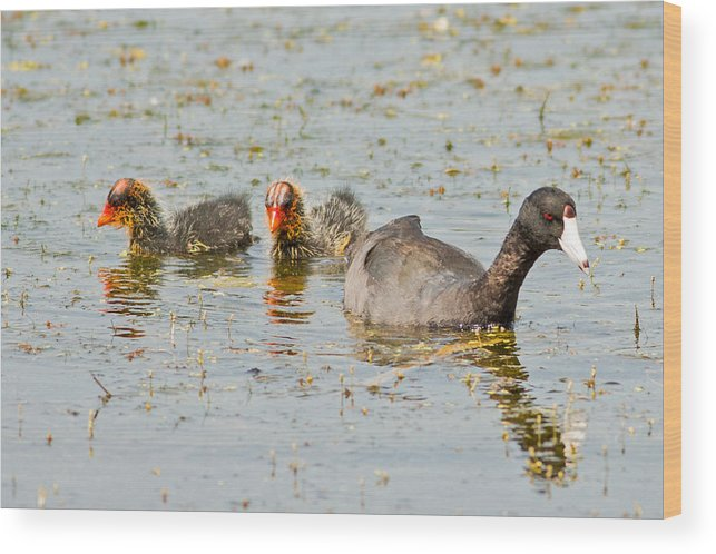 Chicks Wood Print featuring the photograph American Coot And Chicks by Natural Focal Point Photography