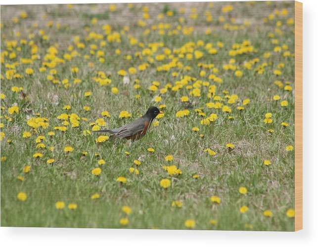American Robin Wood Print featuring the photograph American Robin Among Dandelions by Robert Hamm
