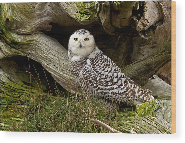 Snowy Owl Wood Print featuring the photograph Amongst The Driftwood by Shari Sommerfeld