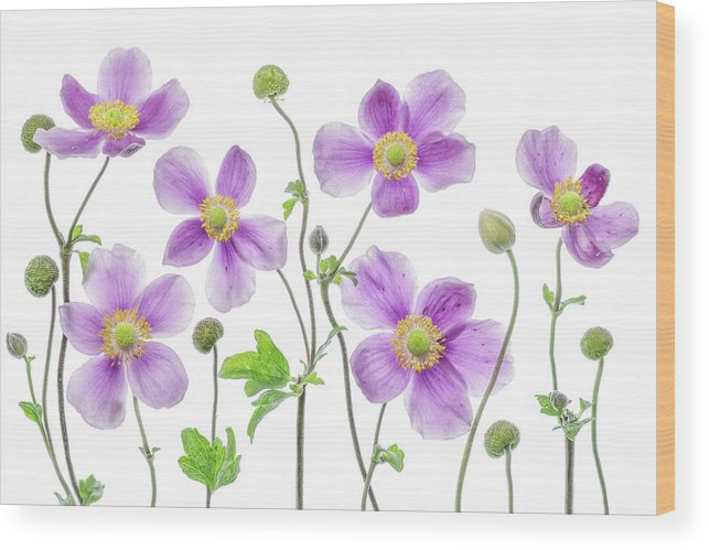 Japanese Wood Print featuring the photograph Anemone Japonica by Mandy Disher