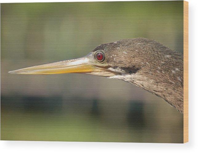 Anhinga Wood Print featuring the photograph Anhinga Florida Water Bird by Rebecca Brittain
