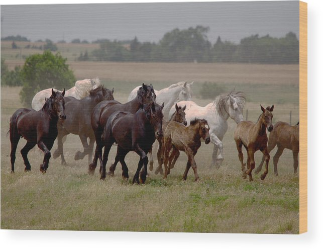 Percheron Wood Print featuring the photograph Arrington Ranch Herd - 2 by Roy Williams