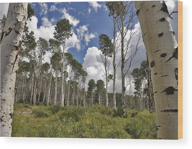 3scape Wood Print featuring the photograph Aspen Grove by Adam Romanowicz