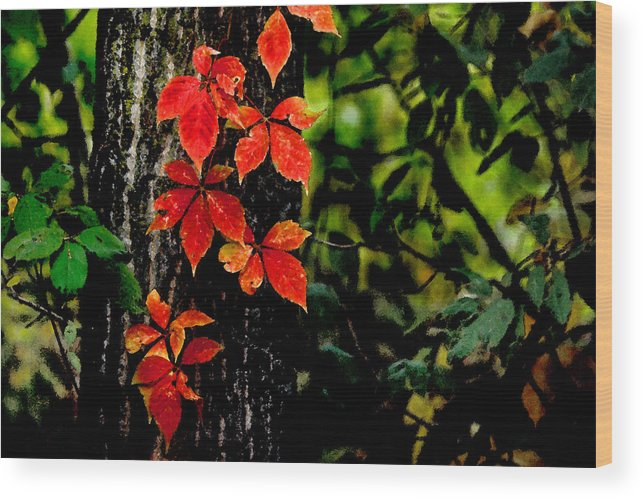Forest Wood Print featuring the photograph Autumn Climber by Michael Moschogianis