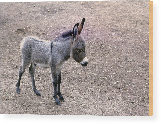 Animal Wood Print featuring the photograph Baby Donkey by Jim Vance