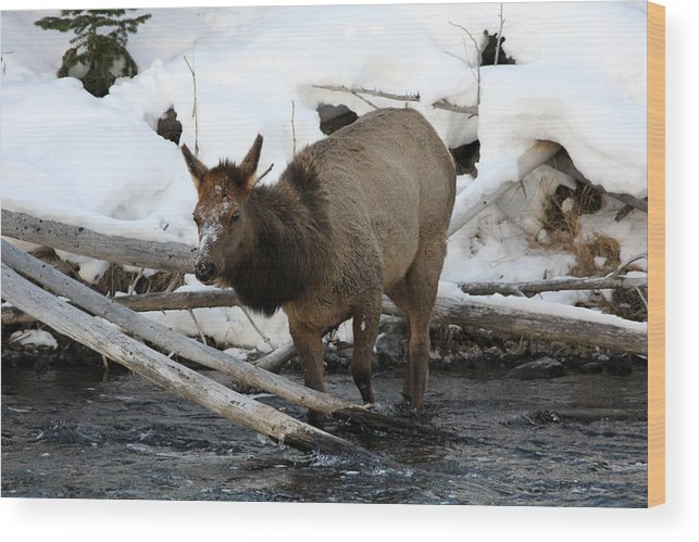 Wildlife Wood Print featuring the photograph Baby Elk by Brenda Boyer
