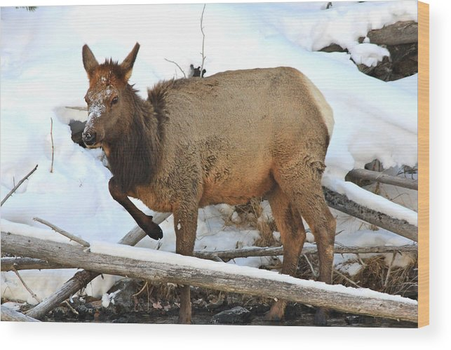 Wildlife Wood Print featuring the photograph Baby Elk In Yellowstone by Brenda Boyer