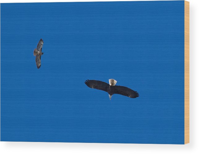 American Bald Eagle Wood Print featuring the photograph Bald Eagle And Redtail Hawk by Don Ewing
