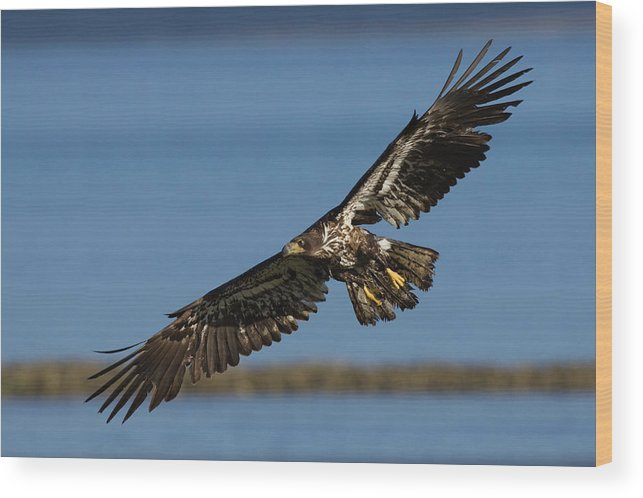 Bald Eagle Wood Print featuring the photograph Bald Eagle In Flight, Immature by Ken Archer
