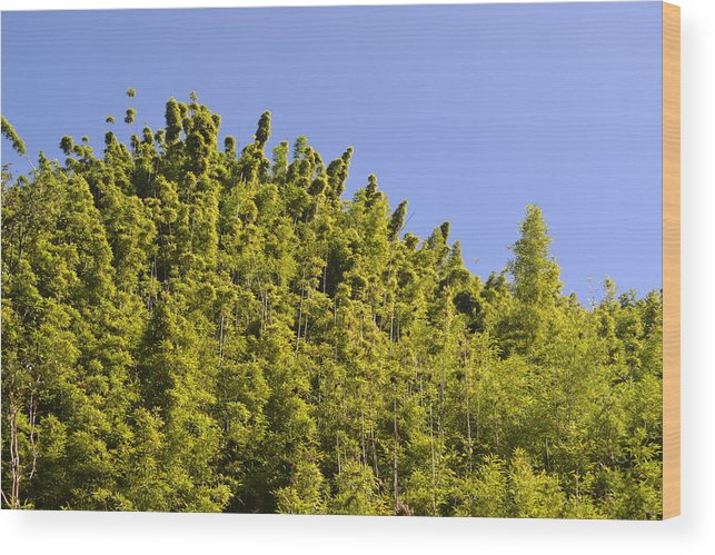 Bamboo Forest Wood Print featuring the photograph Bamboo Treetops by Evan Silver