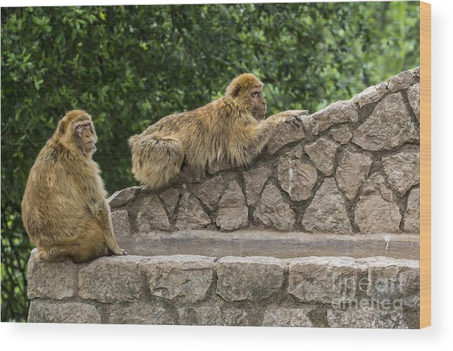 Barbary Macaque Wood Print featuring the photograph Barbary Macaques by Arterra Picture Library