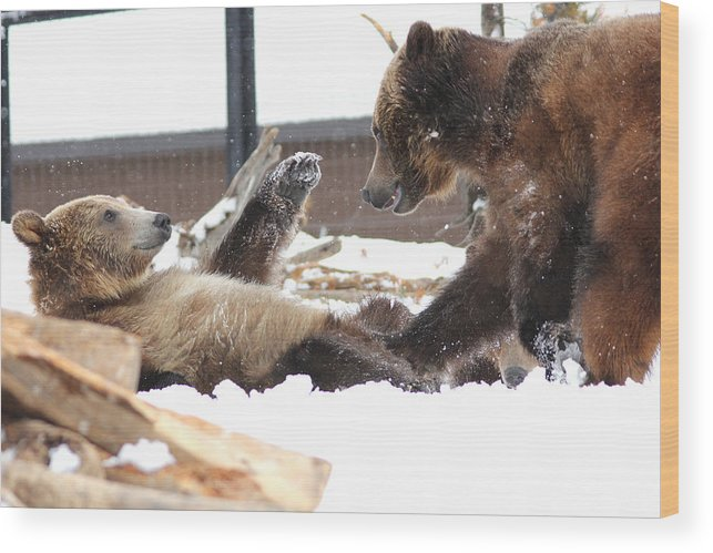 Wildlife Wood Print featuring the photograph Bear Play by Brenda Boyer