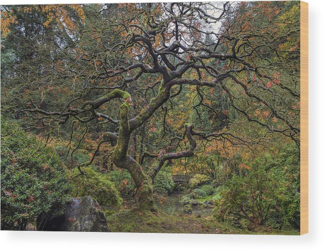 Portland Japanese Garden Wood Print featuring the photograph Beautiful And Bare Japanese Lace-leaf Maple Tree by David Gn
