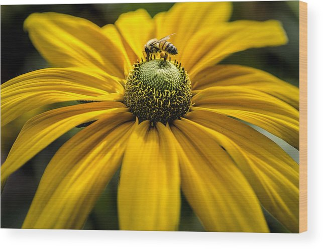 Bumble Bee Wood Print featuring the photograph Bee On A Daisy by Irene Theriau