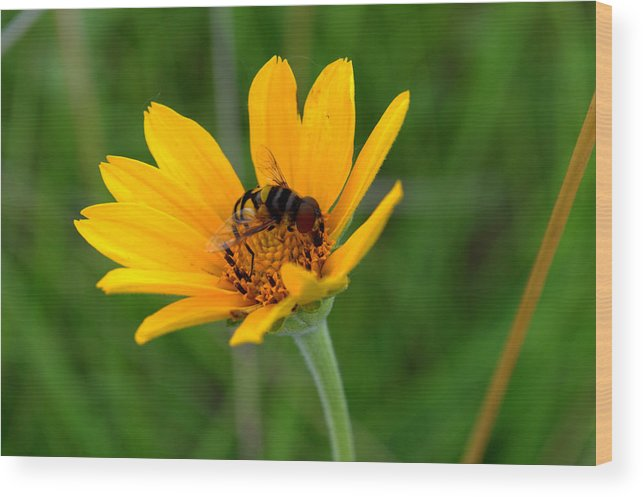Smooth Oxeye Wood Print featuring the photograph Bee On A Smooth Oxeye by Mark Hudon