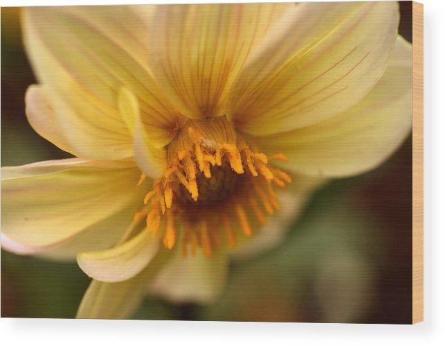 Dahlia Wood Print featuring the photograph Bee Trap by Wanda Brandon