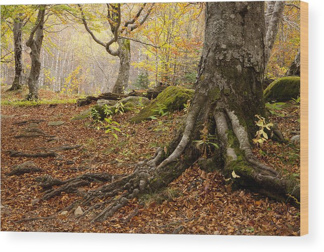 Aran Wood Print featuring the photograph Beechwood by Javier Fores