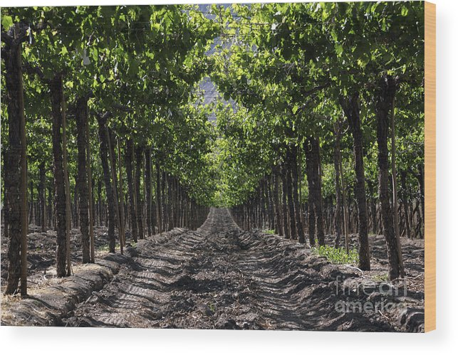 Vineyard Wood Print featuring the photograph Beneath The Vines by James Brunker