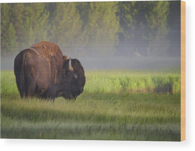 Bison Wood Print featuring the photograph Bison In Morning Light by Sandipan Biswas