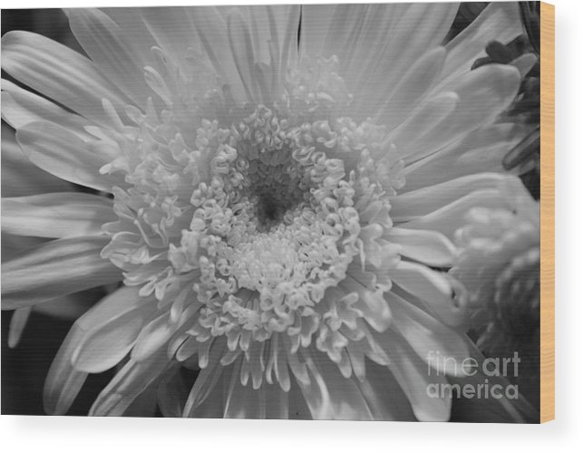 Chrysanthymum Wood Print featuring the photograph Black And White Chrysanthymum by Cheryl Hurtak