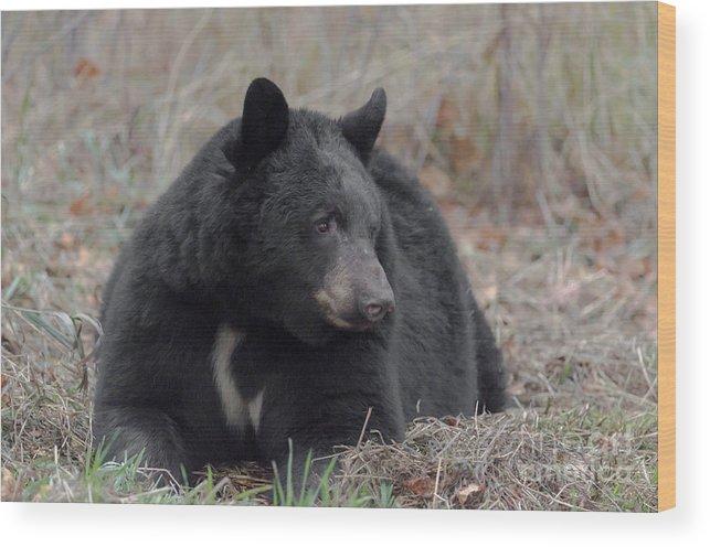 Black Bear Wood Print featuring the photograph Black Bear by Linda Rich