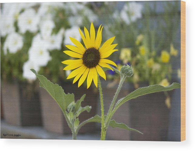 Flower Wood Print featuring the photograph Black Eyed Susan by Cecily Vermote