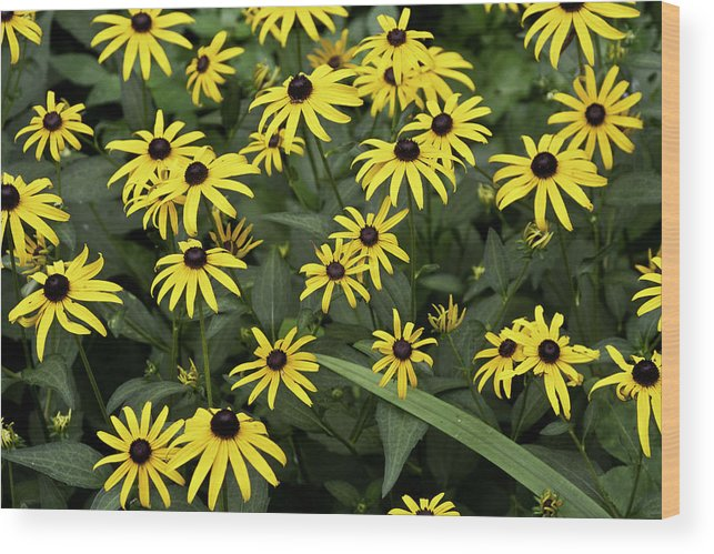 Bloom Wood Print featuring the photograph Black Eyed Susans by Rick Roth