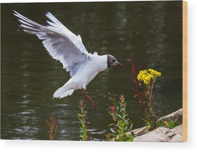 Seagull Wood Print featuring the photograph Black Head Gull - Preparing For Landing by Scott Lyons
