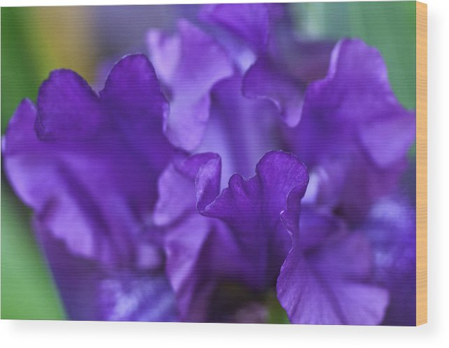 Bloom Wood Print featuring the photograph Black Iris Up Close by Rick Roth