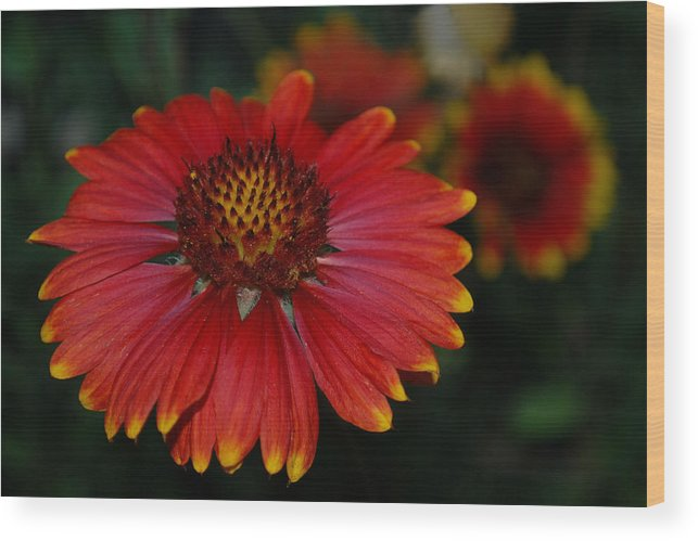 Blanket Wood Print featuring the photograph Blanket Flower II by Dakota Light Photography By Dakota