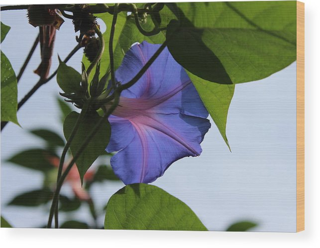 Morning Glory Taken From Behind Wood Print featuring the photograph Blue Flower by Mike Jarrett
