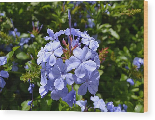 Wood Print featuring the photograph Blue Flowers by Aruna Venugopal