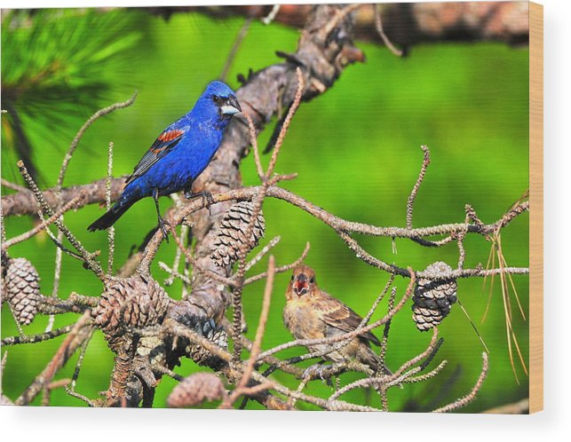 Wood Print featuring the photograph Blue Grosbeak And Mate by Daniel Nowak