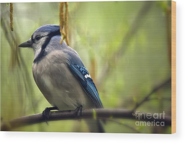 Bird Wood Print featuring the photograph Blue Jay On A Misty Spring Day by Lois Bryan