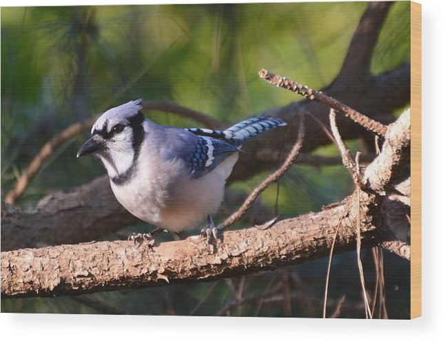 Nature Wood Print featuring the photograph Blue Jay by Rosanne Ricard